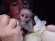 2 красивый капуцин обезьян для принятия