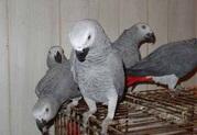 попугая жако краснохвостый