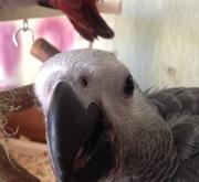 мужские и женские попугаев